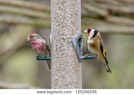 Lesser Redpoll (Carduelis caberet) and Goldfinch (Carduelis carduelis) on a bird feeder full of sunflower hearts.