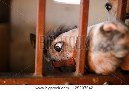 Foal looking through a cage in a stable