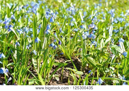 Siberian Squill (Scilla siberica) blue spring flowers close-up