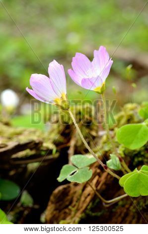 Pink wood sorrels (Oxalis) blooming in the forest