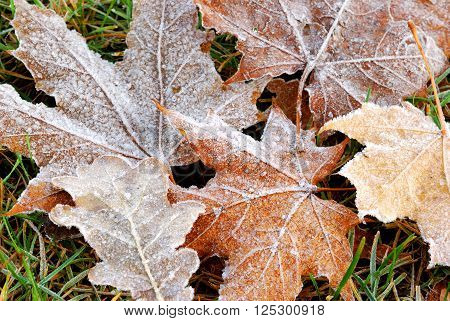 Frozen brown leaves on the ground in autumn. Maple and oak leaves.