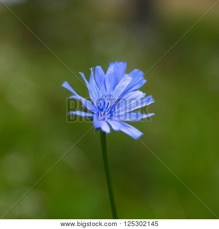 Single Chicory flower on the abstract green background