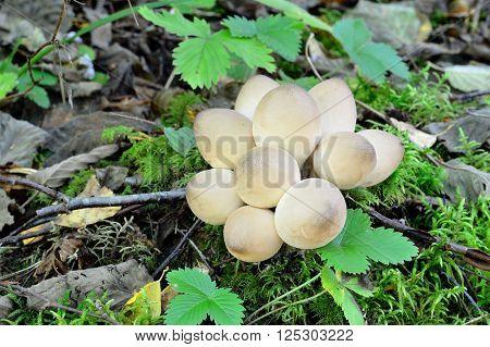 White puffball mushroom group (Lycoperdon) in the forest