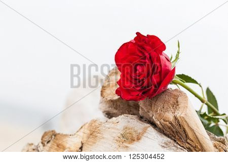 Red rose lying on broken tree on the beach. Concept of romantic love, romance, but may also symbolize a loss, melancholy, memory of the past etc.