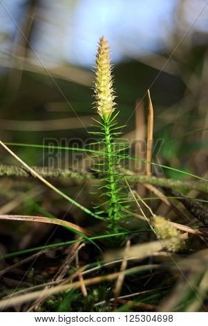 Lycopodium moss spores close-up in the forest