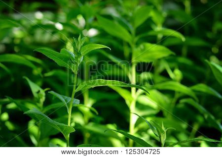 Lush green plants closeup in a summer forest.