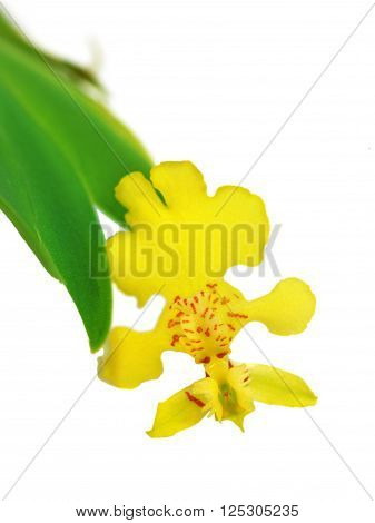 Erycina pusilla yellow orchid isolation on white background flower closeup