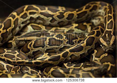 Burmese python (Python bivittatus). Wild life animal.