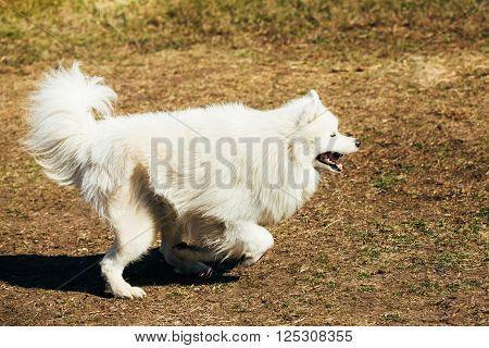 Funny White Samoyed Dog play run Outdoor. Popular  medium size breeds.