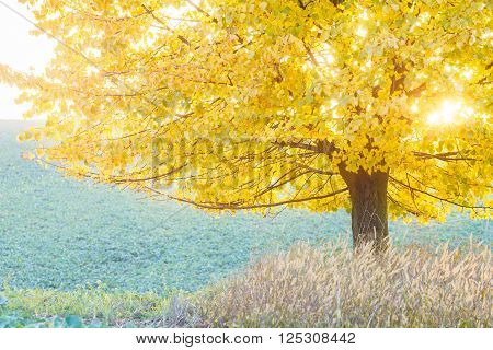 Autumn yellow linden tree in the green field