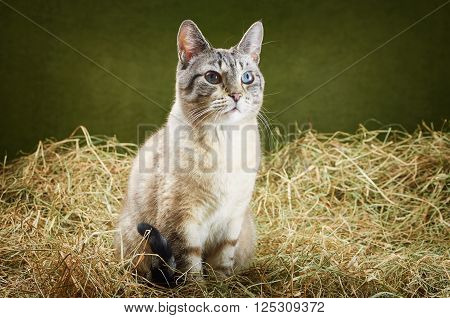 Image of Outbred Cat in the Hay