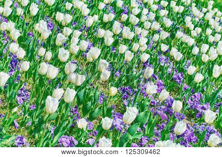 Field of White Tulips among Pansy Flowers