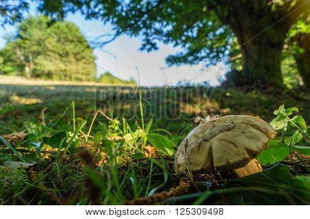 A cep at the limit of the forest and meadow