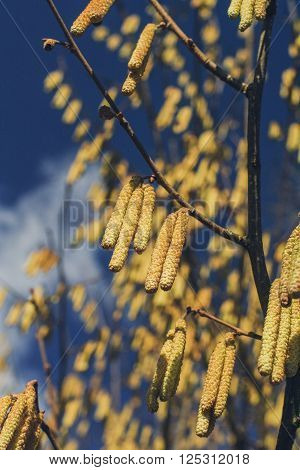 Yellow Shrub Spring Catkins on a Background of Blue Sky