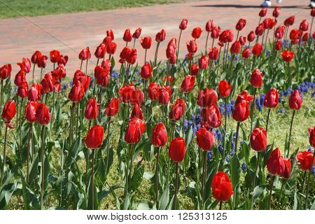 Beautiful red tulips on a Spring day.