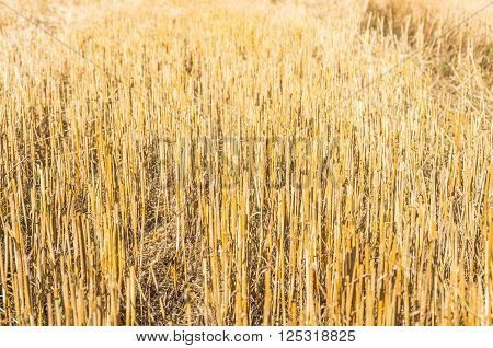 Details of a stubble field after harvesting wheat and straw.