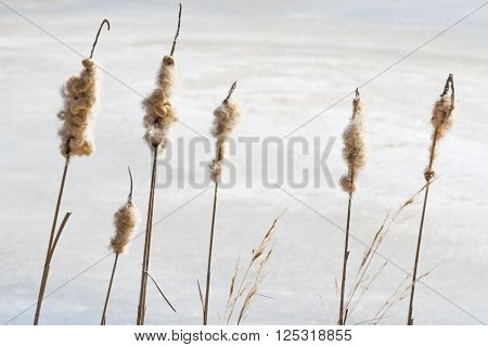 Last year's cane crumbles under the strong gusts of winter wind in the forest pond. Russia.