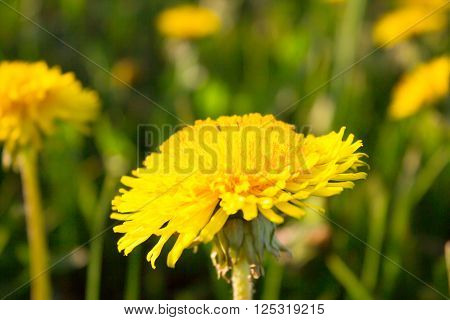 Closeup yellow dandelion flower on green meadow