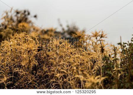 Thorny flower. Wild mountain flora of Crete