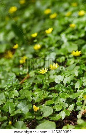 Small Celandine Field