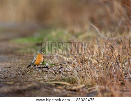 American Robin perched deep in a forest in Quebec. These birds welcome the day in with their melodious well know song.