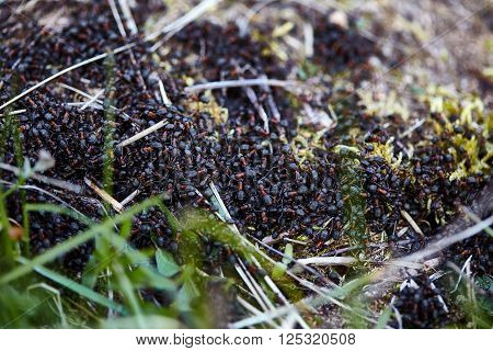 Closeup of a swarming nest of black-red ants