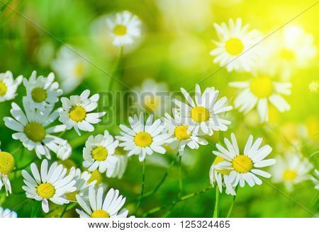 Floral nature daisy abstract background in green and yellow
