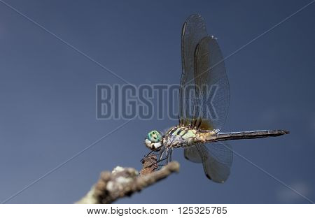 Green bodied dragonfly with matching eyes on a dead tree branch