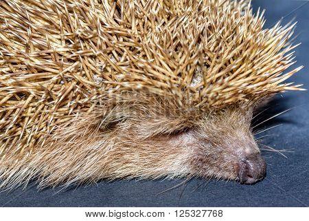 Hedgehog  sleeping on the black background in studio