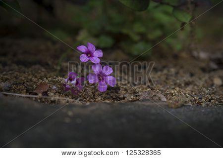 Pink Oxalis flowers blooming in an East Teas flower bed.