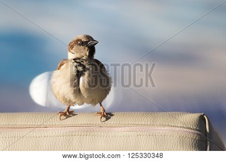 Funny ruffled sparrow close-up on blurred blue water background