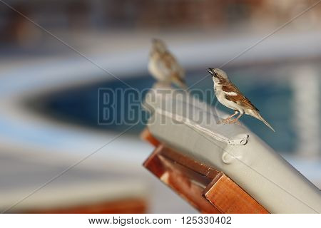 Sparrow sits on the back of sunbed and tweets with one more sparrow beside blurred