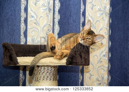 Abyssinian cat lying in a basket on a background of curtains