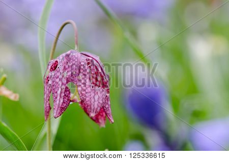 Snake's head fritillary (Fritillaria meleagris)  with slug damage. A beautiful spring flower in the flower Liliaceae with holes in petals caused by slugs feeding