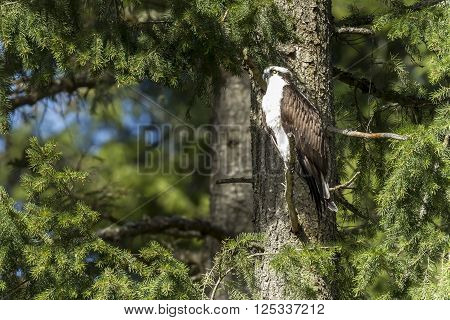 An Osprey in north Idaho is perched within a pine tree.