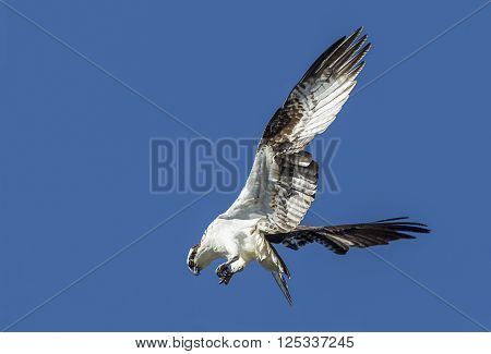 Osprey flutters its wings. An osprey in north Idaho is fluttering its wings up in a clear blue sky.
