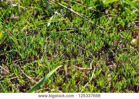 new green grass sprouts, natural outdoor background with selective focus