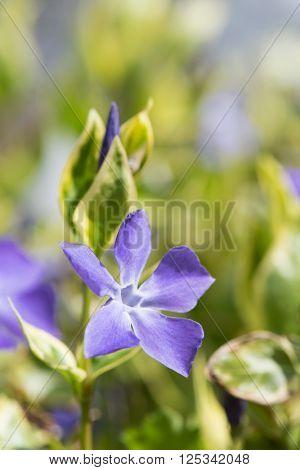 Blue Vinca flower or periwinkle plant