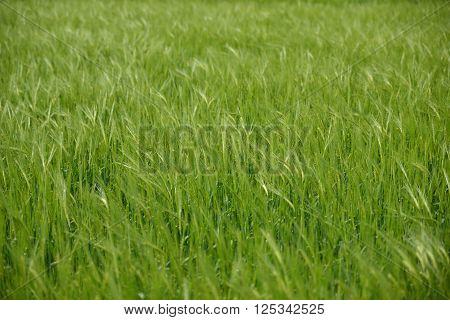 wheat field green and without sky Agriculture, Blue, Sun, background, barley, bright, countryside, field, food, grain, grass, green, harvest, nature, plant, rural, scene, season, spring, summer, wheat, white