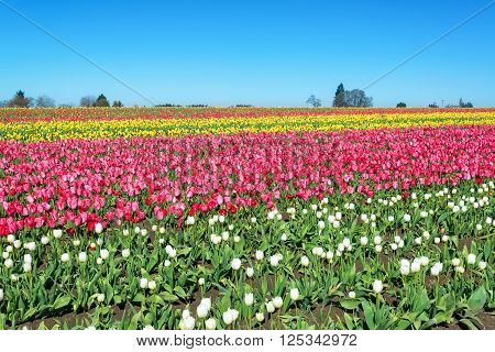 A colorful tulip landscape in Woodburn Oregon