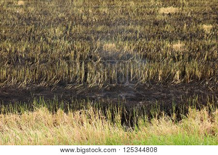 Burnt grass in the field after the fire. Close up.