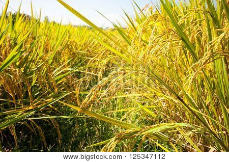 Close Up Yellow Green Rice Field In Natural Of Thailand