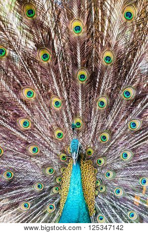 Close-up Portrait Of Beautiful Peacock With Colorful Feathers