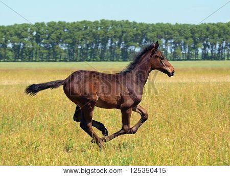 A brown foal galloping on the summer meadow
