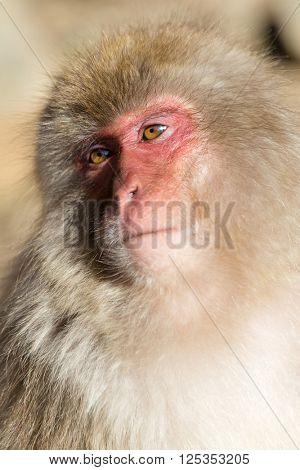 Japanese monkey portrait
