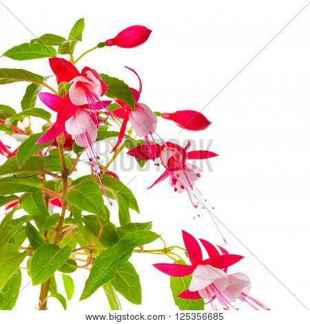 beautiful blooming branch of red and white fuchsia flower is isolated on background `Shadow Dancer Betty` close up
