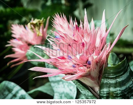 Aechmea fasciata - Silver vase or Urn plant - is a species of flowering plant in the bromeliad family native to Brazil. Natural scene.