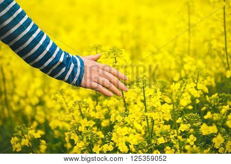 Female hand touching gentle blooming rapeseed crops woman agronomist walking through the field of blossoming cultivated oilseed rape plantation concept of responsible growth and crop protection.