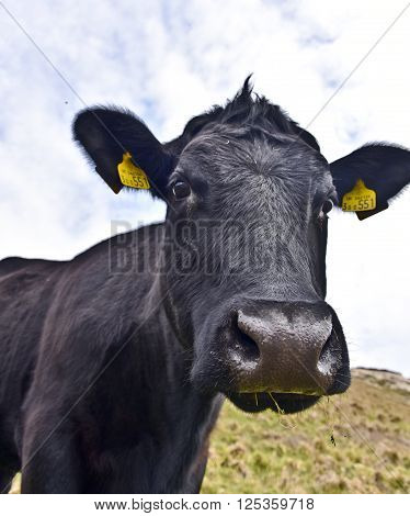 As we were walking along a country park this cow suddenly stopped grazing and looked straight at the camera