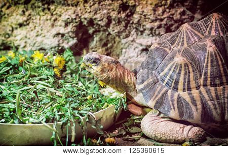 Radiated tortoise - Astrochelys radiata - feeding. Animal portrait.